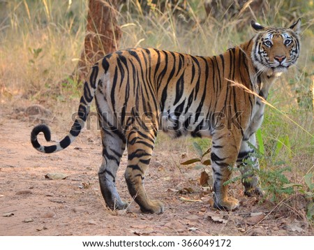 A Female Bengal Tiger looking at the camera  Scientific name- Panthera Tigris  - stock photo