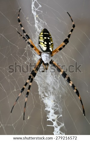 A female black and yellow garden spider sitting on her web. - stock photo