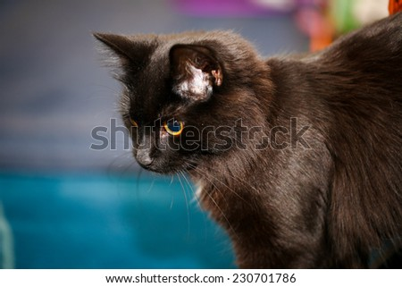 A female black cat playing indoor and showing her curiosity - stock photo