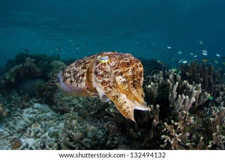 A female Broadclub cuttlefish (Sepia latimanus) hydrates eggs before placing them into the protective confines of a hard coral in Indonesia.  The eggs will incubate for 3-4 weeks before hatching. - stock photo