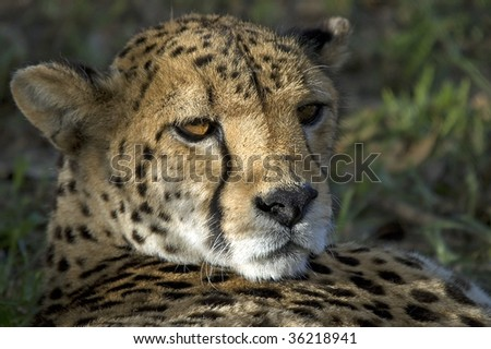 A female cheetah looks over her shoulder in the Kgalagadi, South Africa