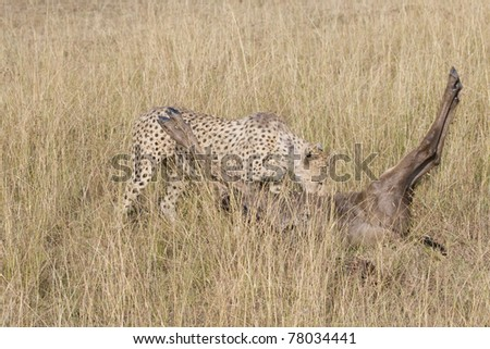 "A female cheetah with a wildebeest kill in the Masai Mara during the ""Great Migration""."