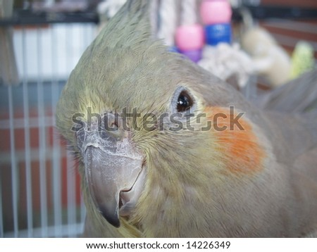 A female cockatiel in her cage