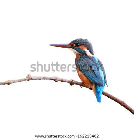 A female Common Kingfisher is perching on a branch.(Alcedo atthis) on white background