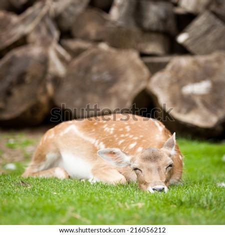 A female deer (doe) resting in a rural setting. - stock photo