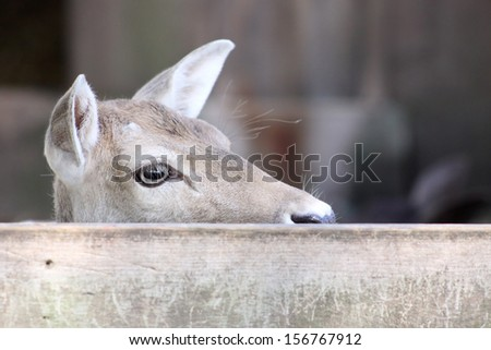 A female deer staring over a wooden fence - stock photo