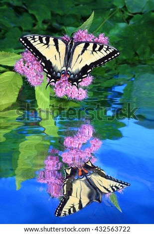 A female Eastern Tiger Swallowtail butterfly (Papilio glaucus) on a spirea flower and its reflection in a water garden, - stock photo