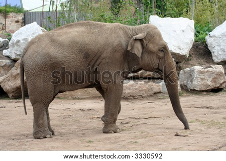 A female elephant from the side with trunk extended - stock photo