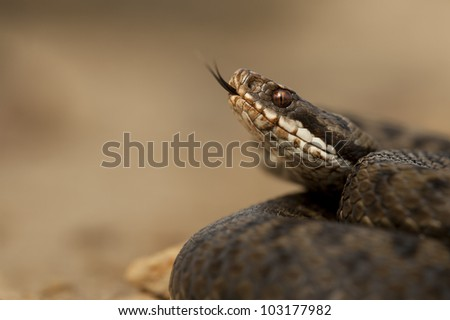 A female European Adder (Vipera berus) flicking her tongue to taste the air, set against a smooth light brown background. - stock photo