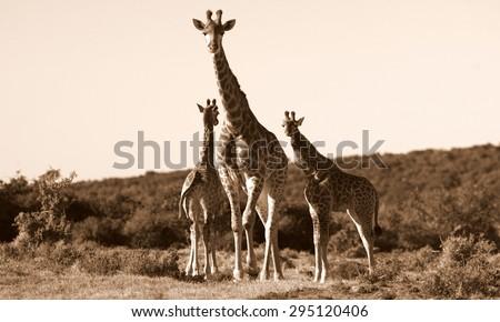 A female giraffe looking after 2 young giraffe calves. South Africa - stock photo