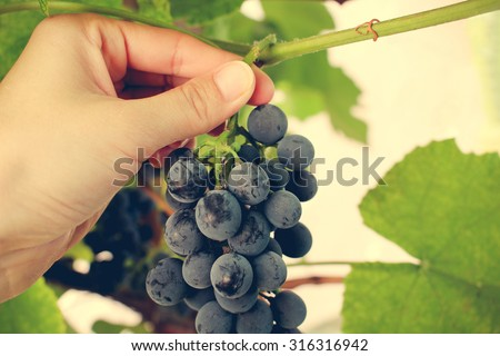 A female hand picks up a blue bunch of grapes. The harvesting. Toned image - stock photo