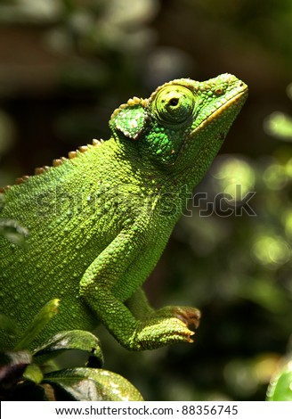 A female Jackson's Chameleon (Trioceros jacksonii) perches on a branch and soaks up the sun in Hawaii. - stock photo