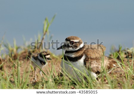 A female killdeer and her young chick hiding in the grass next to the lake. - stock photo