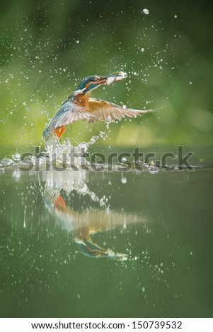 A female Kingfisher erupts from the water after a successful dive in which she has caught not one, but two minnows. - stock photo