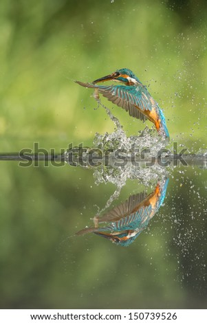 A female Kingfisher leaving the water after a successful dive.  She has caught a minnow by the tail, and now thrusts herself clear of the water in a shower of spray. - stock photo