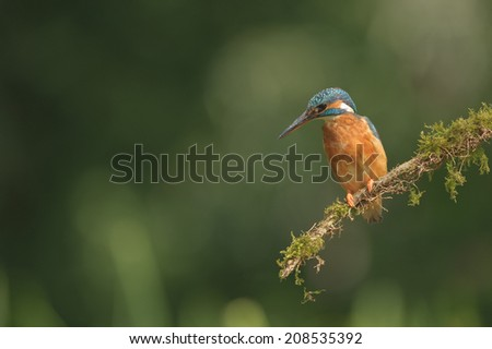 A female Kingfisher rests on a perch in between dives into the water below for food. - stock photo