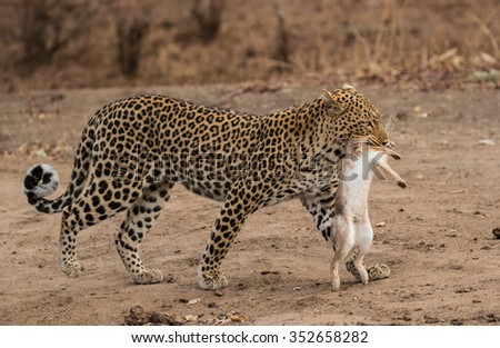 A female leopard carrying a freshly caught hare, South Luangwa National Park, Zambia, Africa - stock photo