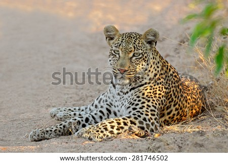 A female leopard (Panthera pardus) resting, Sabie-Sand nature reserve, South Africa - stock photo