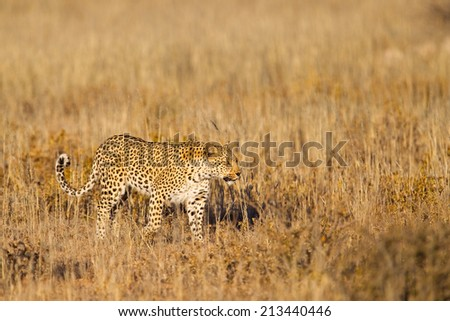 A female Leopard walking in grass in the Kalahari Desert, Kgalagadi Transfrontier Park, South Africa - stock photo