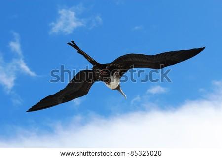 A female magnificent frigatebird (Fregata magnificens) flies overhead off the Galapagos Islands, Ecuador against a blue sky and white clouds - stock photo