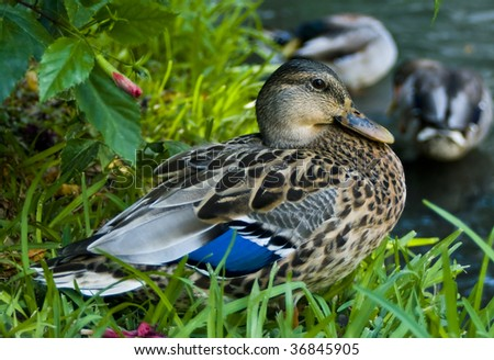 a female mallard duck perched on the bank of a river - stock photo