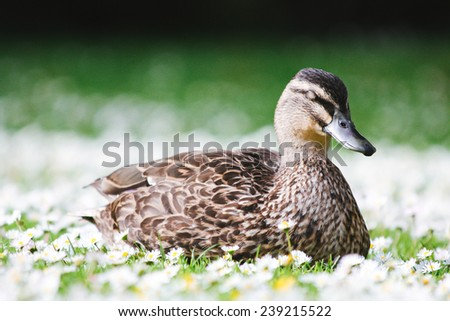 a female Mallard Duck resting and sleeping on a bed of Daisy flowers - stock photo