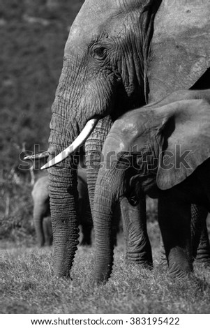 A female matriarch elephant mother leads her herd including all the small baby calves to a favorite watering hole in Pumba private game reserve,eastern cape,south africa - stock photo
