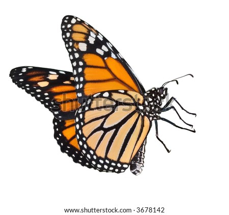 Female monarch butterfly flying