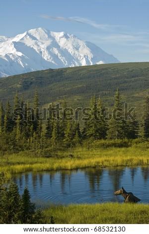 A female moose bathes in a pond in Denali National Park, Alaska - stock photo
