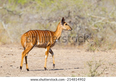 A female Nyala (Tragelaphus angasii)  walking against a blurred natural background in Hluhluwe game reserve, South Africa - stock photo
