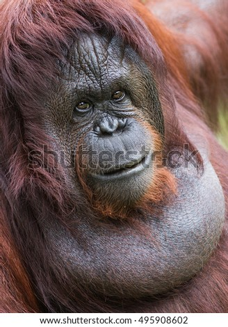 A female of the orangutan