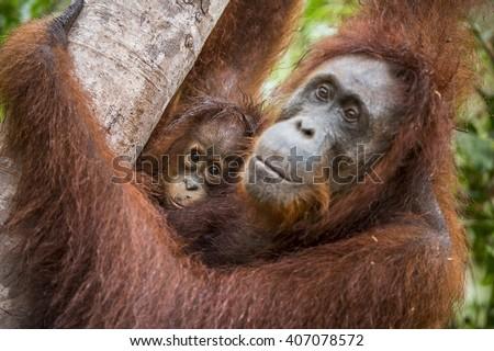 A female of the orangutan with a cub in a native habitat. Bornean orangutan (Pongo o pygmaeus wurmmbii) in the wild nature. Rainforest of Island Borneo. Indonesia. - stock photo