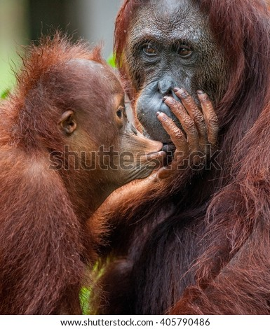 A female of the orangutan with a cub in a native habitat.The cub of the orangutan kisses mum. Borneo Rainforest.  (Pongo pygmaeus) - stock photo