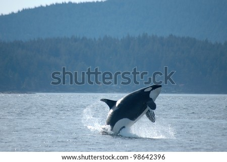 A female orca breaches in the Pacific Northwest.