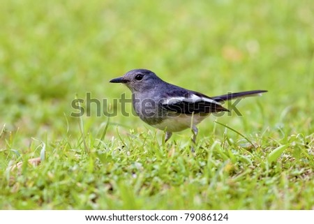 a female Oriental Magpie Robin - stock photo