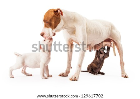 A female Pit Bull mixed breed dog getting a kiss from one of her puppies while another is nursing.