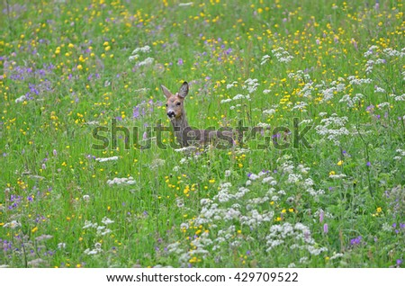 A female roe deer in a meadow with colourful flowers - stock photo