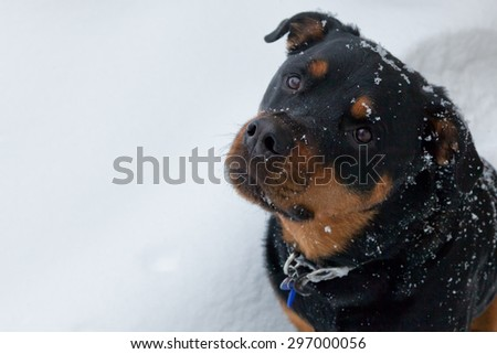 A female rottweiler sitting in the falling snow looking into the camera.