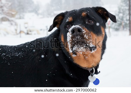 A female Rottweiler with snow on her face waiting for the next snowball to chase. - stock photo
