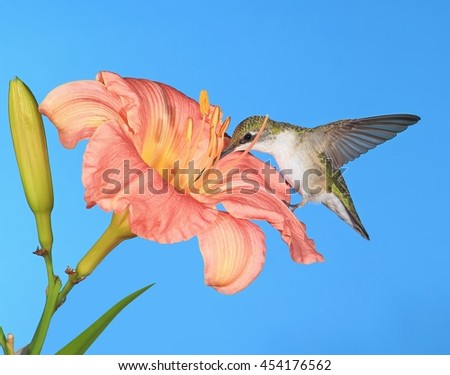 A female Ruby- throated hummingbird (Archilochus colubris) at pink daylily with blue sky in the background. - stock photo