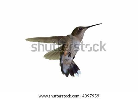 A female ruby-throated hummingbird in flight - stock photo