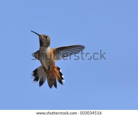 A female rufous hummingbird in flight in Washington State. - stock photo