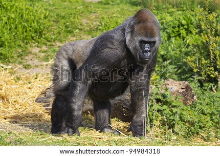 A female western lowland gorilla standing side on facing left - stock photo