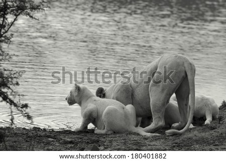 A female white lion and her white cubs have a drink in this black and white image taken on safari in South Africa. - stock photo