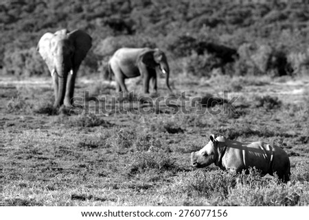 A Female white rhinoceros / rhino and her calf find themselves surrounded by a herd of African elephant in this unique image of two of the big five together - stock photo