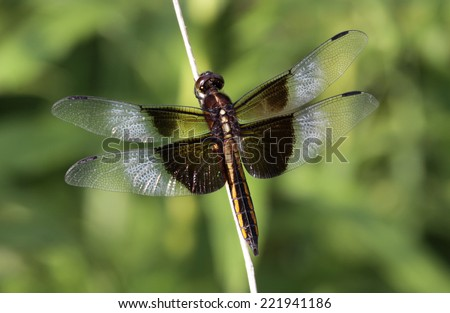 A female Widow Skimmer (Libellula luctuosa) perched on a weed.  Shot in Kitchener, Ontario, Canada.  - stock photo