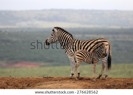 A female zebra and her baby fowl in this image. - stock photo