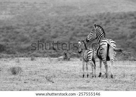 A female zebra and her fowl in this image. - stock photo