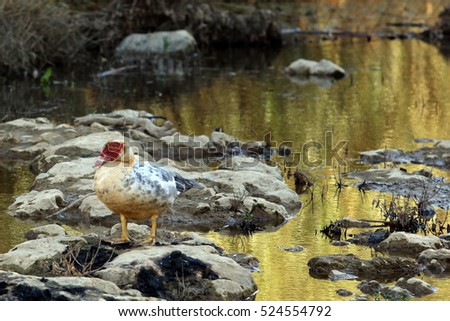 A feral muscovy duck (actually a drake) in the Petre Gorge, central Crete, Greece