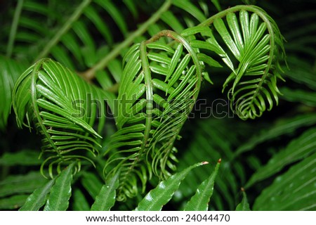 A fern is any one of a group of about 20,000 species of plants classified in the phylum or division Pteridophyta. - stock photo